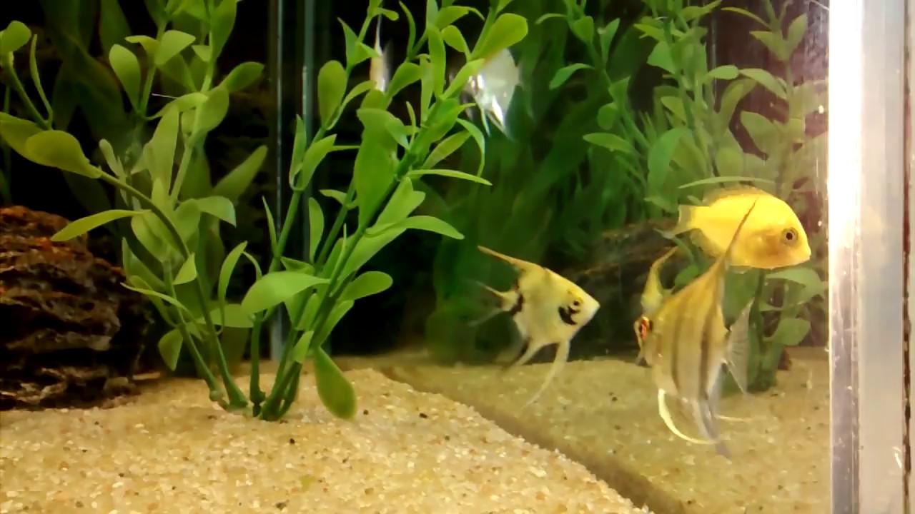 Peixe Mexirica - Aquarismo