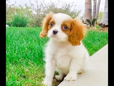 Lance the Cavalier King Charles Male Puppy for Sale San Diego, Calfornia
