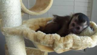 baby monkey nala hugs her BoBo toy