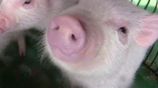 紅の子豚 Cute Baby Pigs !2 | 赤ちゃん子豚たちの授乳 母親豚 かわいい! ブタさん