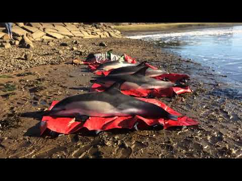 A dozen dolphins rescued off coast of Cape Cod