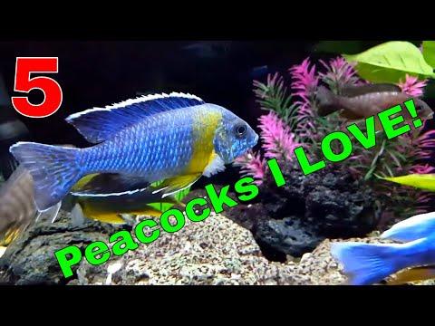 African Cichlids: 5 Peacocks I Love!