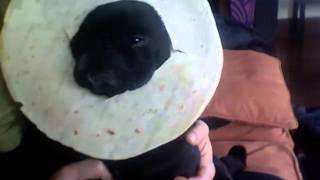 Tortilla Pug Meme