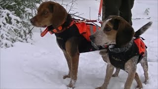 Beagle Boys Rabbit Hunting  - 2013/2014 Season Highlights
