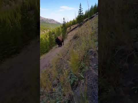 Close encounter in Yellowstone's Lamar Valley