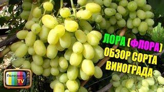 видео Виноград : Саженцы винограда сорт Лора