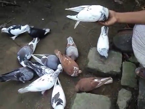 Nourish pigeons/পুষা কবুতর/kobutor/পুষা পায়রা/Pigeon nourish great hobby
