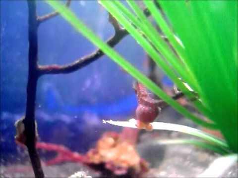 dwarf seahorse tank video