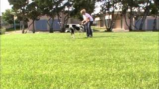 Building Drive And Speed - Agility Puppy Training