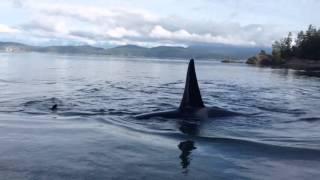 Orcas on the beach