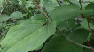 体長8ミリの小さなガです。イタドリの葉の上で、触角をくるくる回して...