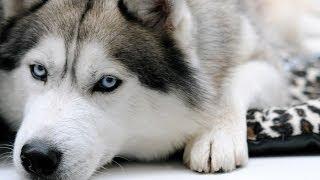 シベリアンハスキーは凛として美しい姿が魅力です。