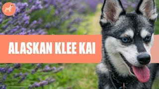 Alaskan Klee Kai   History, Grooming, Personality, & More! (Detailed Guide)