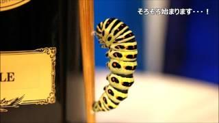 キアゲハ終齢幼虫くんは、体長がMAXで6cmになりました! 蛹化準備の...