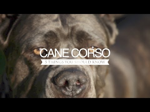 CANE CORSO FIVE THING YOU SHOULD KNOW