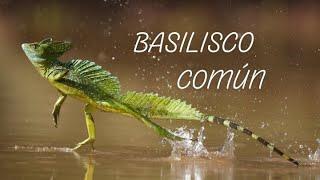 Basilisco Común El increíble reptil que camina sobre el agua