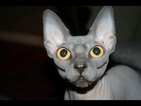 Лучшие Приколы со сфинксами | Подборка смешных сфинксов кошек и котят