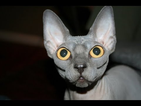 Вопрос: Каки породы кошек привязываются к человеку?