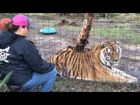 Charaka Tiger Gets Back Scratch
