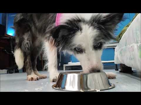 Maka, a female Australian Shepherd mix at Muttville