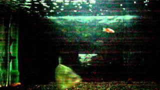Ikan Mas.MOV