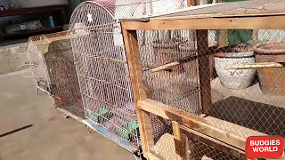 MINIMUM SIZED CAGES FOR FINCHES/BUDGIES/FISHERS/LUTINO AND COCKTAILS IN URDU