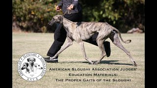 American Sloughi Association:   The Gaits of the Sloughi