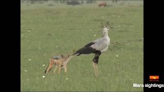 jackal vs secretary bird face off. thumbnail