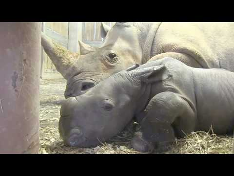 Southern White Rhino Baby at the North Carolina Zoo