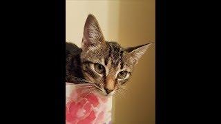 Glenn, a beautiful Tabby/Bengal mix rescue kitten