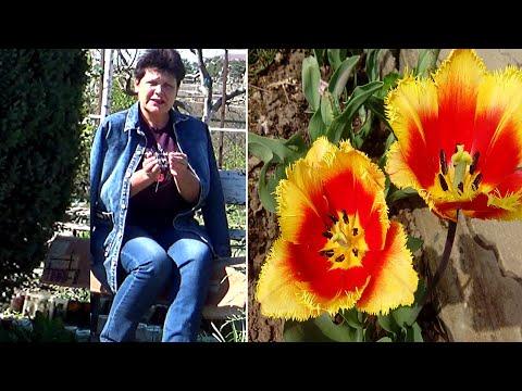 4 причины почему не цветут тюльпаны весной