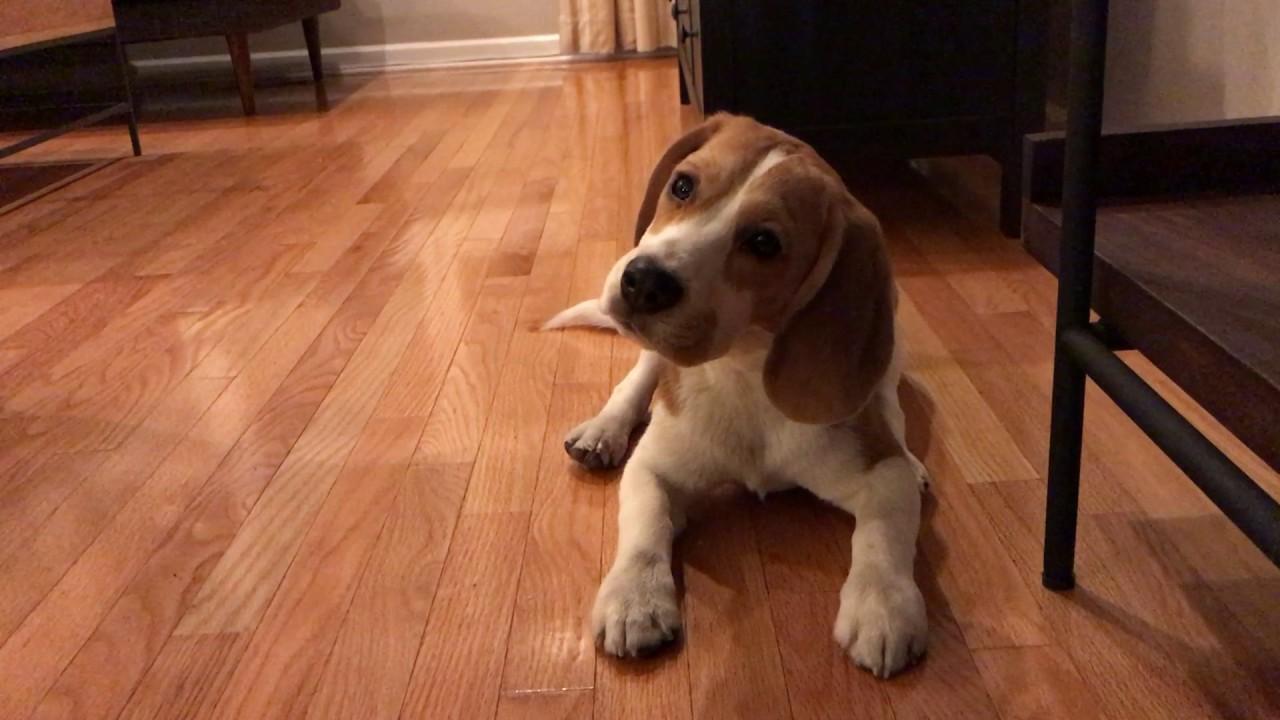 Beagle Puppy Loves Eating Bark Pops Youtube