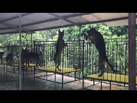 Trại chó becgie đức Hoàng Anh ( HoangAnh kennel )