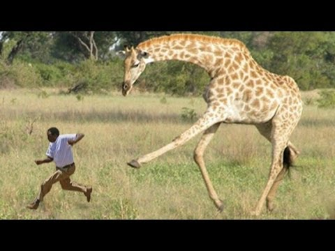 WHEN GIRAFFES ATTACK