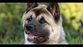 Выставка собак Одесса, ринг Американских Акит. Март 2018. Сегодня в Одессе. Породы собак. Любимцы.