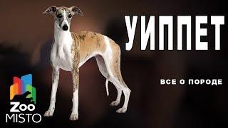 Уиппет - Все о породе собаки | Собака породы уиппет
