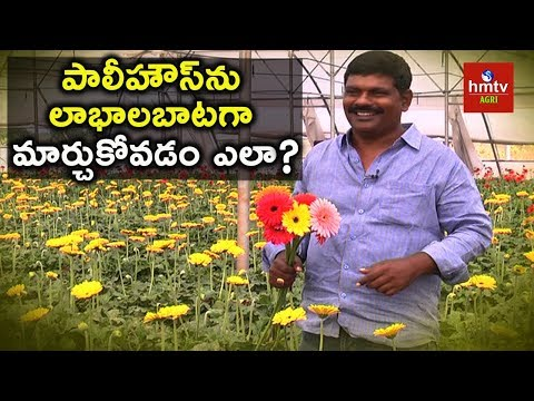 Telangana Farmer Earning 1 Lakh  Per Month In Polyhouse Farming | Gerbera Cultivation | hmtv Agri