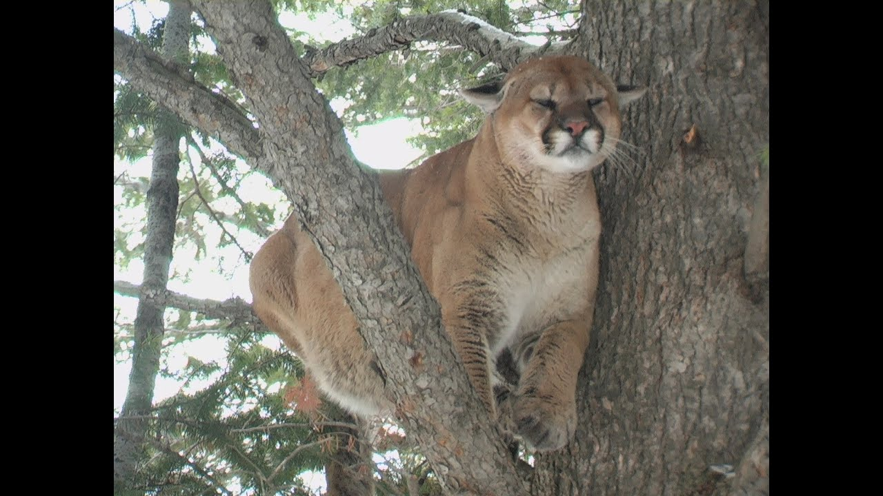 Colorado cougar