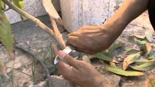 تطعيم شجرة المنجو بوا�...