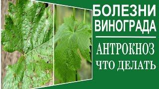 видео Болезни и вредители винограда и их лечение