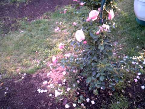 Como hacer un jard n de flores lindas las mejores rosas y - Jardines con rosas ...