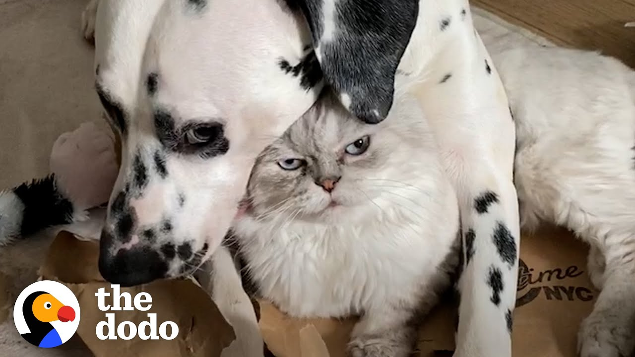 Dog Uses A Cat As A Pillow?!   The Dodo Odd Couples