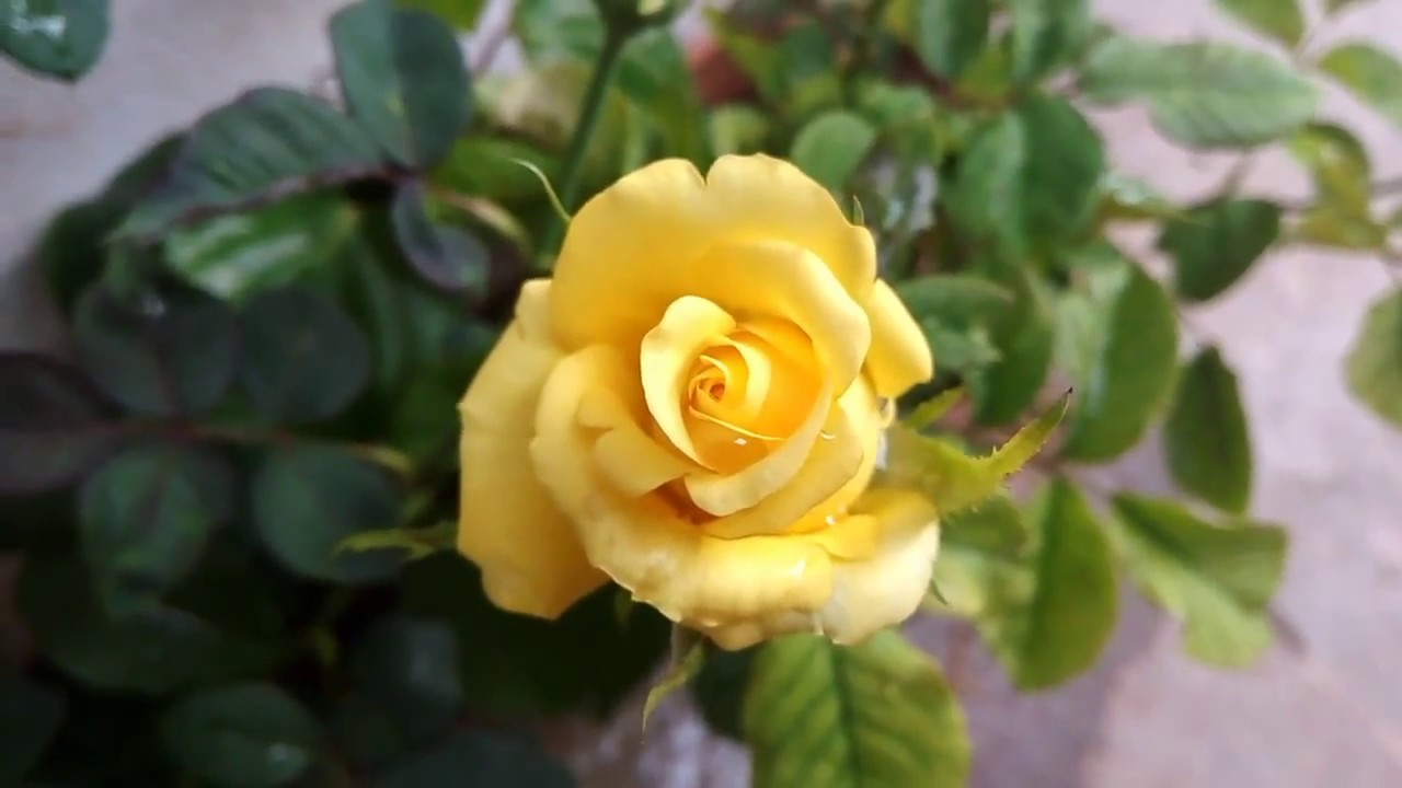 Beautiful rose rosaceae yellow rose american yellow rose beautiful rose rosaceae yellow rose american yellow rose flower shrub dhlflorist Image collections