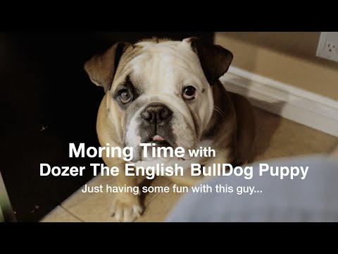 Morning With Dozer The English Bull Dog