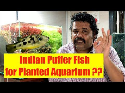 How To Care For Dwarf Puffer Fish | Indian Puffer Fish | Planted Aquarium, About Indian Pea Puffers