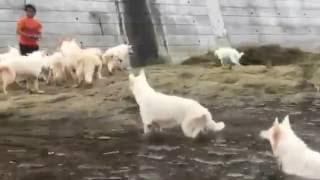 ホワイトシェパードと川遊び 犬使いになりたい人へ ブログ:http://ameb...