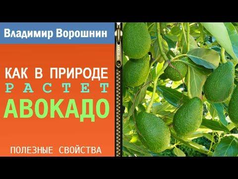 КАК РАСТЕТ АВОКАДО – в природе авокадо растет вот так ...