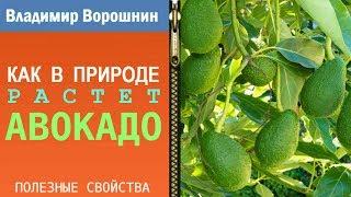 КАК РАСТЕТ АВОКАДО – в природе авокадо растет вот так
