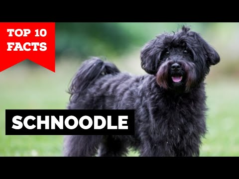 Schnoodle - Top 10 Facts
