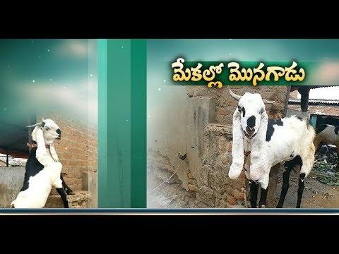 Sirohi Goat | Known As Badshah Bree In Goats | Farming Begins At Gollapally
